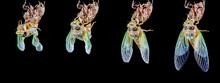 蝉の羽化(cicada)