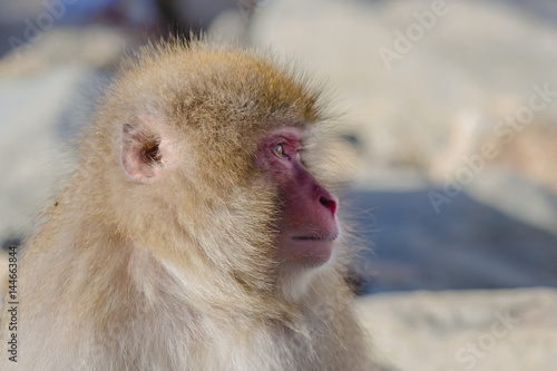 Photo Anthropomorphism: Snow Monkey with Vacant Look