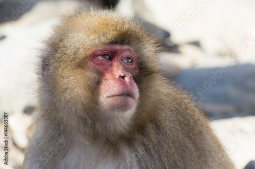 Anthropomorphism: Japanese Macaque Wariness Canvas Print