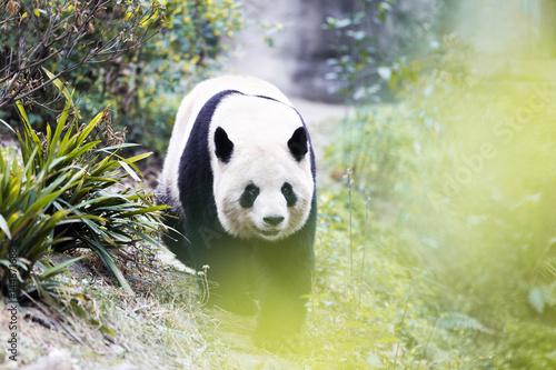 Obrazy na płótnie Canvas panda in park