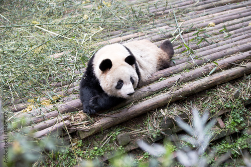 Stickers pour portes Panda panda in park