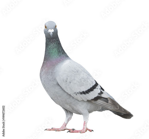 close up full body of speed racing pigeon bird looking to camera isolate white background