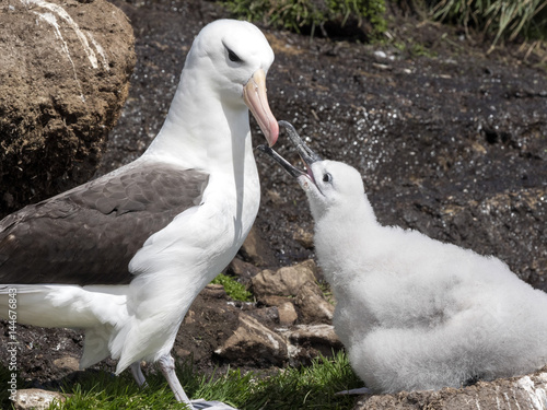 Valokuva  Black-browed Albatross, Thalassarche melanophris with young in the nest, Sounder