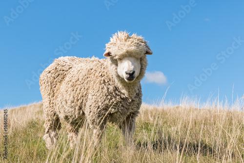 closeup of merino sheep against blue sky
