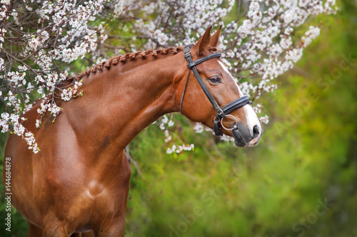 Foto op Canvas Paarden A beautiful red horse with a braided mane and in a bridle stands opposite a blossoming apricot tree