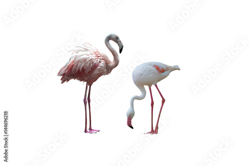Bird flamingo isolated on white background