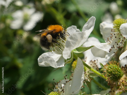 Fotografija  Bee pollinating a BlackBerry flower in summer garden, closeup dewberry