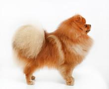 865724 Pomeranian Dog Isolated...