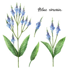 Fototapeta Przyprawy Hand drawn watercolor botanical illustration of Blue vervain.