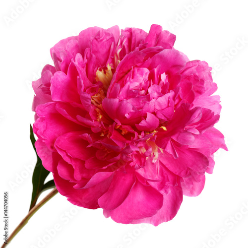 Tuinposter Gerbera Color magenta peony isolated on white background.