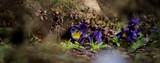 Fototapeta Kwiaty - kwiaty skalniak