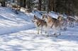 Husky dog sledge in winter forest