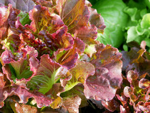 Fresh Red Oak Lettuce With Gre...