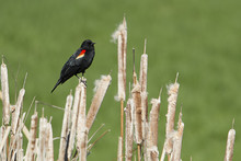 Small Red Winged Black Bird.