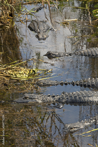 Group of alligators floating in Florida's Everglades National Park.