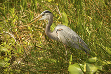 Great Blue Heron Standing In F...