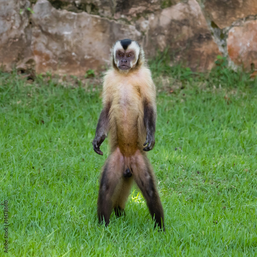 Fototapeta Capuchin monkey standing and looking at the camera
