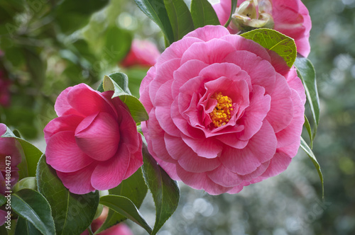 Stampa su Tela Pink Camellia flowers on tree/Closeup of vivid pink camellia flowers and bud on
