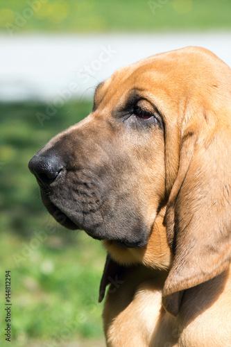 Fényképezés Portrait, junger Bloodhound, Kopfstudie Hunderasse