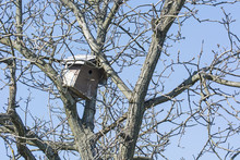 An Old Wooden Booth In A Crown Of A Nut Tree Without Leaves.
