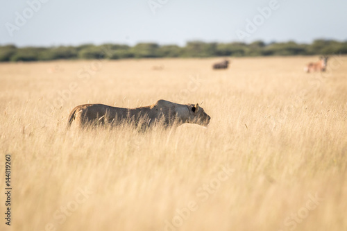 Poster Rhino Lion in the high grass.