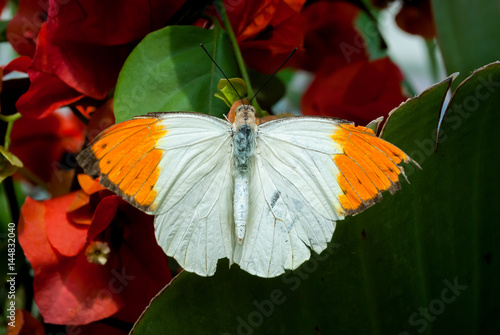 Deurstickers Vlinder Farfalla