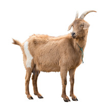 Adult Red Goat With Horns And ...