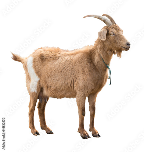 Photo Adult red goat with horns and milk udder. Isolated