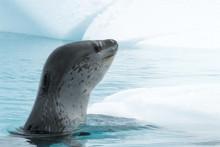 Leopard Seal On Ice Floe