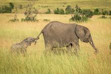 Baby Elephant Holding Tail Of Older Elephant