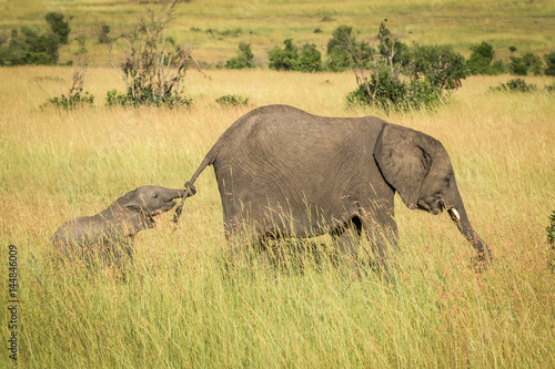 Baby elephant holding tail of older elephant Poster