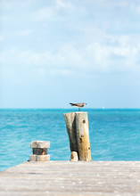 Young Seagull On The Top Of The Wooden Pole. Turquoise Sea In The Background.