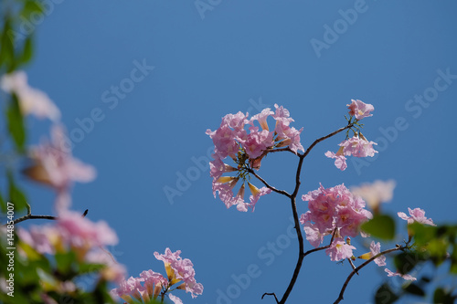 Tabebuia Rosea Is A Pink Flower Tree Pink Trumpet Tree With Blue
