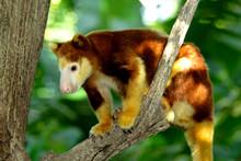 Tree Kangaroo Sitting On A Tree Branch, Papua New Guinea