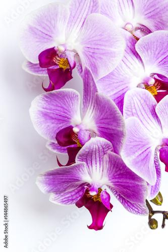 Naklejka na szybę Violet-white orchid on white background. Detail of flower.
