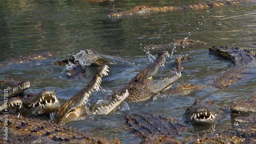 Printed kitchen splashbacks Crocodile A lot big crocodiles in the water
