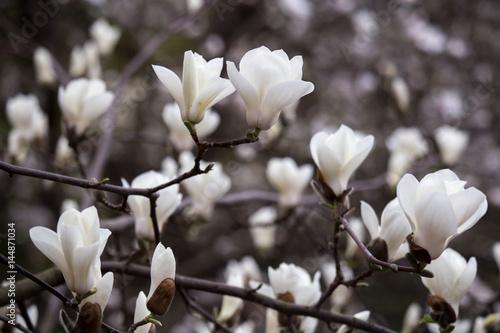 Plakat Kwitnąć magnolia kwitnie w wiosna czasie.