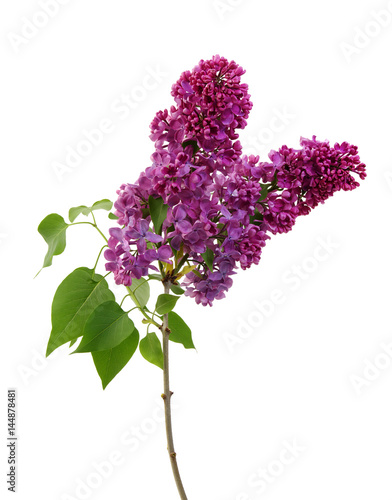 Fotobehang Lilac Lilac flower isolated on white