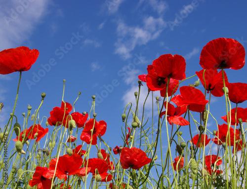 In de dag Poppy Red poppies on field