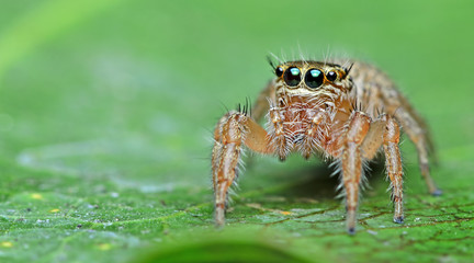 Beautiful Spider on green leaf, Jumping Spider in Thailand, Hyllus semicupreus