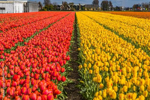 beautiful-tulip-fields-in-lisse