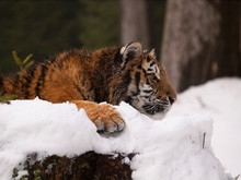 Kitten Of Siberian Tiger Relax...
