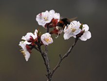 Bumblebee At The Apricot's Blossom