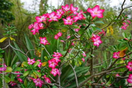 Pink desert rose flowers adenium obesum buy this stock photo and pink desert rose flowers adenium obesum mightylinksfo