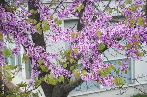 Fotografie, Obraz  arbre de jugée en fleur au printemps