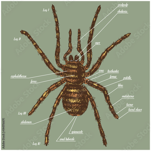Valokuva Illustration of a spider anatomy include all name of animal parts