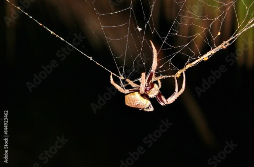 huntsman spider on web from australia - Buy this stock photo