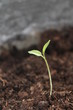 New life growth seedling growing up from dirt soil