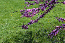 Redbud Tree Blossoms In Spring