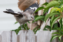 Mockingbird On A Wood Fence Wi...